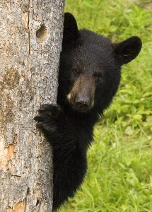 Black Bears - A Common Feature in the Great Smoky Mountains National Park